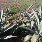 agave americana_M.Giunti