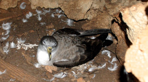 Calonectris diomedea in cova_G.Muscetta